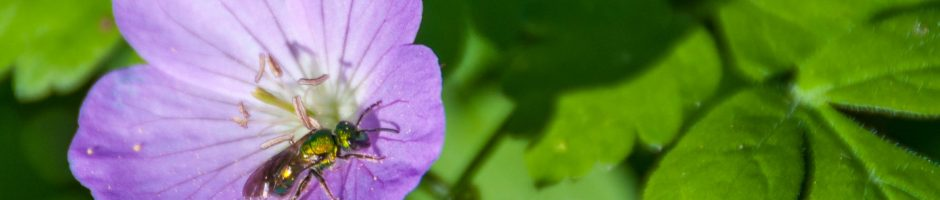 Wild petunia pollinator